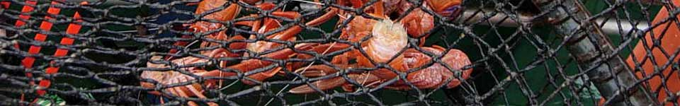 A photograph of Chilean langostino in a pot trap.