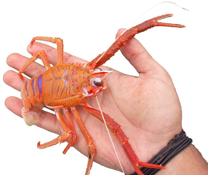 A photograph of a whole live langostino lobster.
